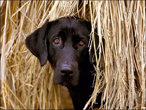 Черный лабрадор ретривер, Фото фотография собаки картинка