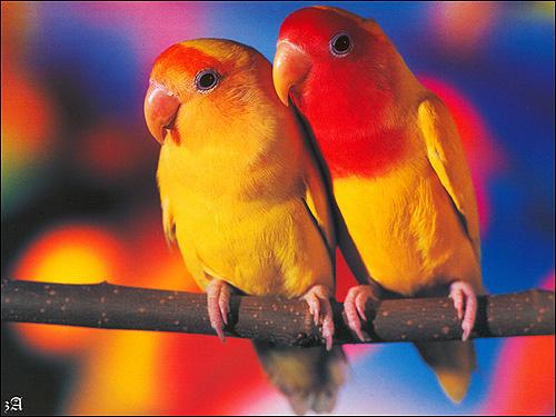 Неразлучник Фишера (Agapornis fischeri), Фото фотография картинка попугаи птицы