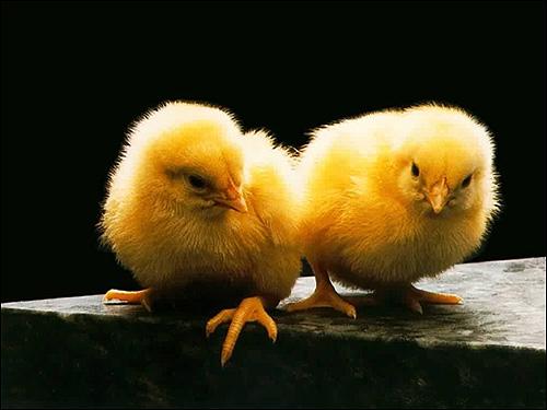 Цыплята, Фото фотография картинка птицы
