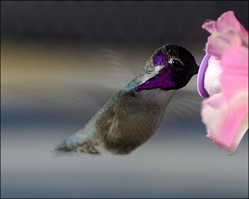 Колибри у цветка, Фото фотография картинка птицы