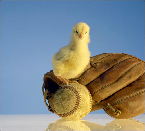 Цыпленок, Фото фотография картинка птицы куры