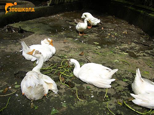 Белые домашние гуси, Фото фотография картинка птицы