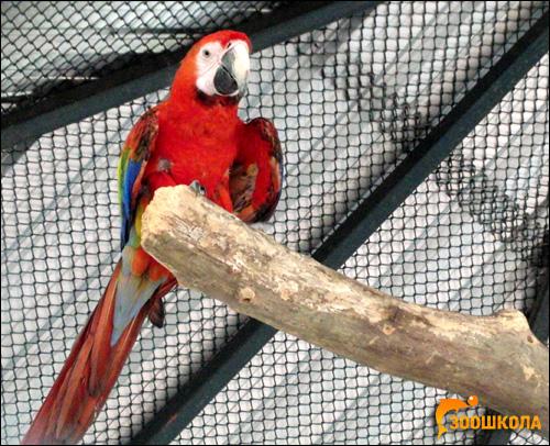 Красный ара, араканга (Ara macao), Фото фотография картинка попугаи