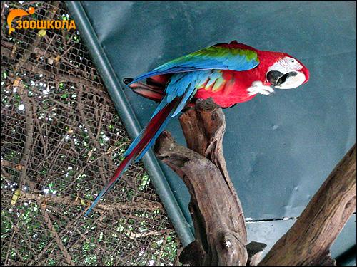 Зеленокрылый ара, красно-зеленый ара (Ara chloroptera), Фото фотография картинка попугаи