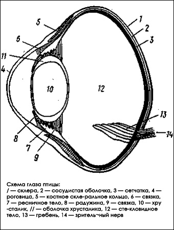 Схема глаза птицы
