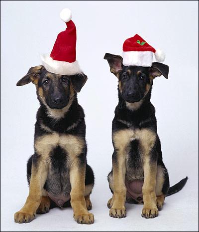Щенки немецкой овчарки, Фото фотография собаки картинка