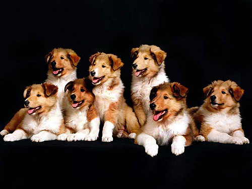 Щенки колли или шелти, Фото фотография собаки картинка