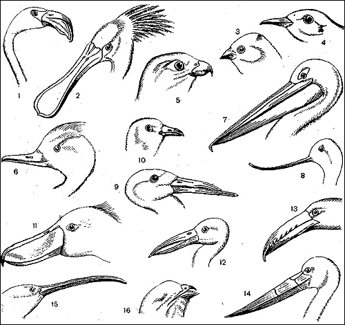 Различные формы клюва у птиц, Черный рисунок картинка