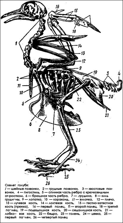 Скелет голубя, Черный рисунок картинка