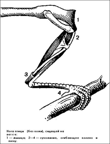 Нога птицы (без кожи), сидящей на ветке, Черный рисунок картинка