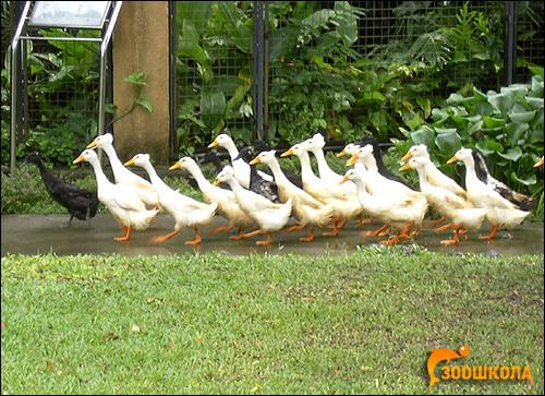 Домашние гуси, Фото фотография картинка птицы