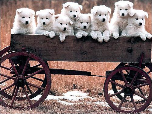 Щенки самоеда, щенки самоедской лайки, Фото фотография собаки картинка