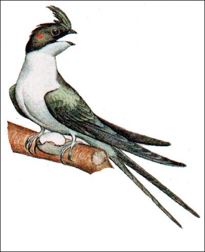 Хохлатый древесный стриж, клехо (Hemiprocne longipennis), Рисунок картинка птицы