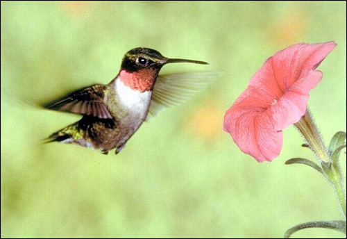 Колибри, Фото фотография картинка птицы