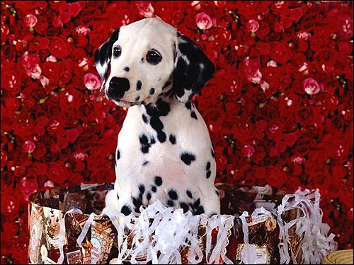 Щенок далматина далматинца, Фото фотография собаки картинка