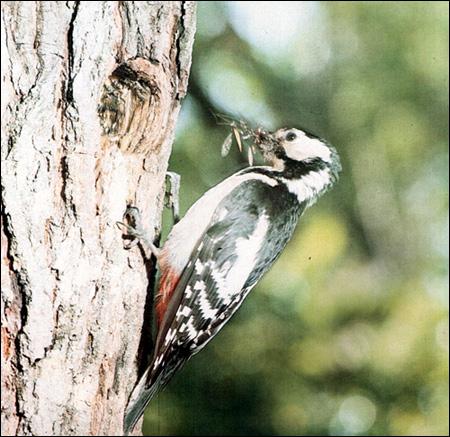 Большой пестрый дятел (Dendrocopos major), Фото фотография картинка птицы