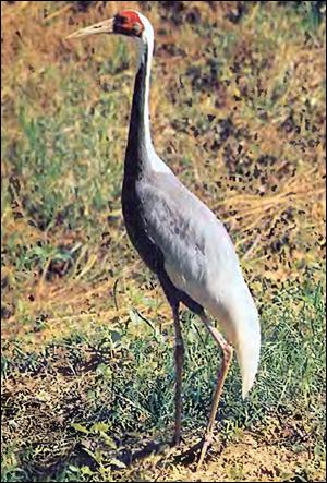 Даурский журавль (Grus vipio), Фото фотография картинка птицы