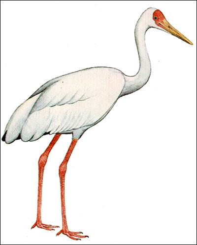 Стерх, белый журавль (Grus leucogeranus), Рисунок картинка птицы