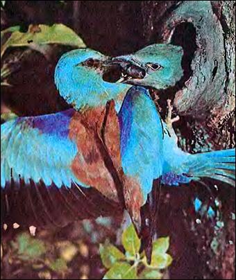 Сизоворонка, ракша (Coracias garrulus), Фото фотография картинка птицы
