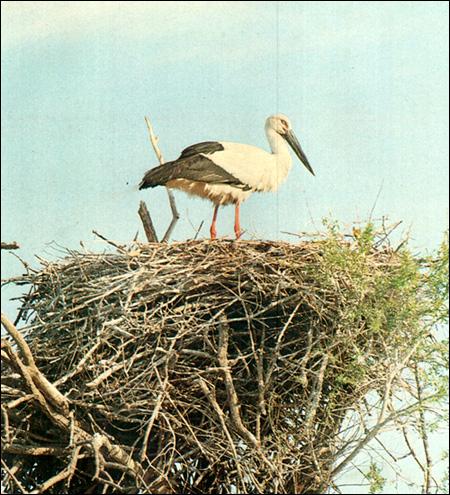 Boyciana фото фотография картинка птицы