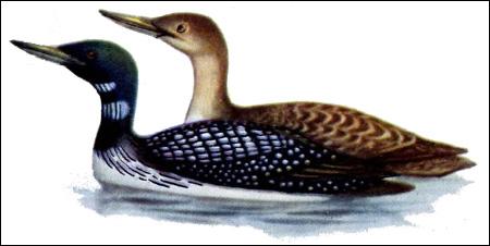 Гагара белоклювая (Gavia adamsii), Рисунок картинка птицы