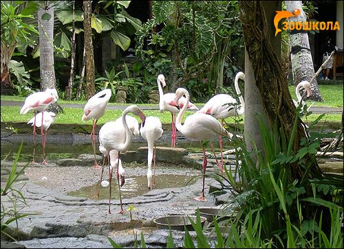 Фламинго, Фото фотография картинка птицы