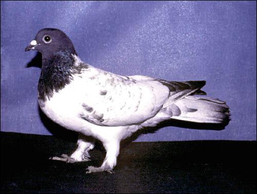 Голубь. Тульский чеграш, Фото фотография картинка птицы
