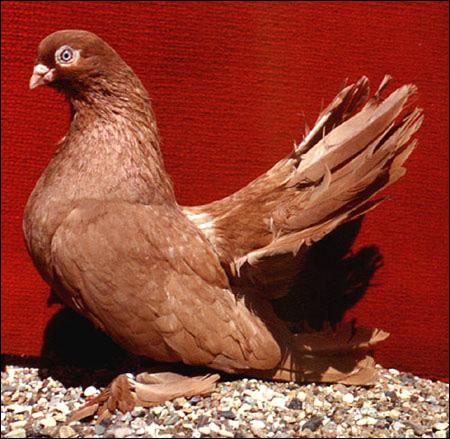 Голубь ростовский цветной, Фото фотография картинка птицы
