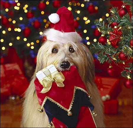 Лхасо-апсо, собака-дед мороз, Фото фотография картинка собаки
