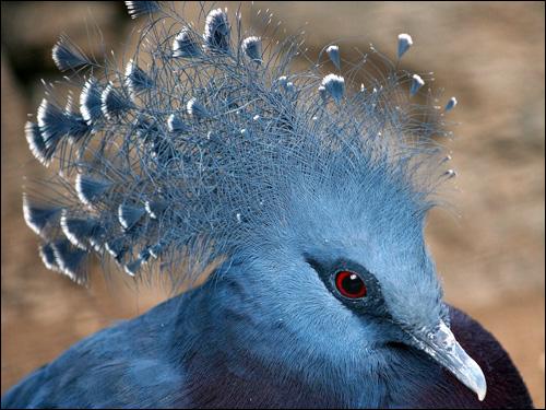 Венценосный голубь, Фото фотография картинка птицы