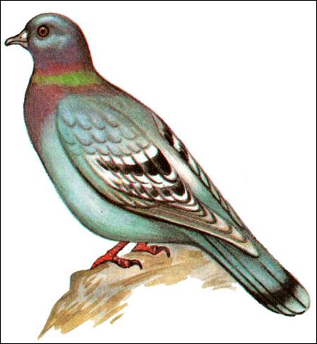 Дикий сизый голубь (Columba livia), Рисунок картинка птицы