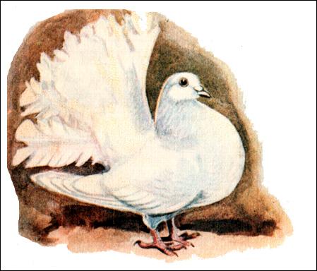 Белый декоративный голубь, Рисунок картинка птицы