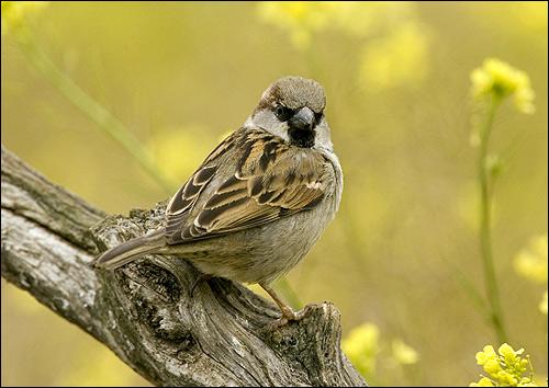 Воробей, Фото фотография картинка птицы