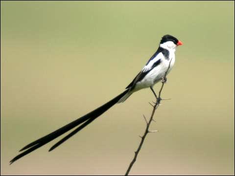 Вдовушка доминиканская (Vidua macroura), Фото фотография картинка птицы