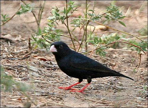 Красноногий блестящий ткачик (Vidua chalybeata), Фото фотография картинка птицы