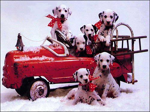 Щенки далматина далматинца на пожарной машине, Фото фотография собаки картинка