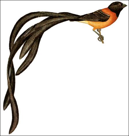 Райская вдовушка (Vidua paradisaea), Рисунок картинка птицы