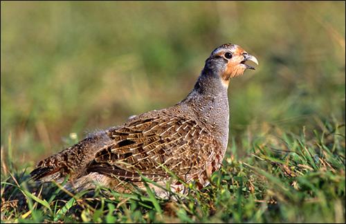 Серая куропатка (Perdix perdix), Фото фотография картинка птицы
