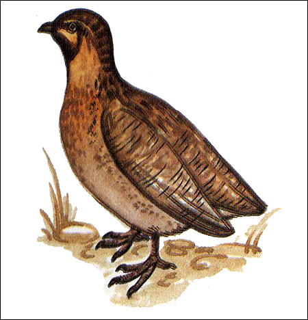 Перепелка (Coturnix coturnix), Рисунок картинка птицы