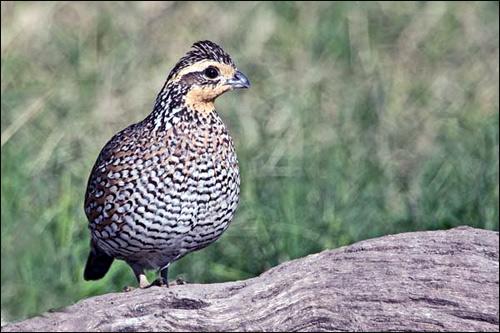 Виргинский перепел (Colinus virginianus), Фото фотография картинка птицы
