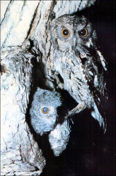Обыкновенная сплюшка, зорька (Otus scops), Фото фотография картинка птицы