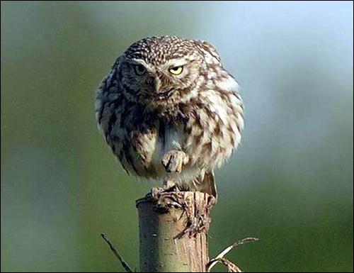 Сыч?, Фото фотография птицы картинка