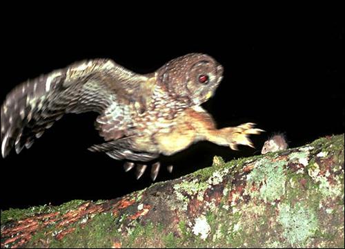 Сова охотится за мышью, Фото фотография картинка птицы