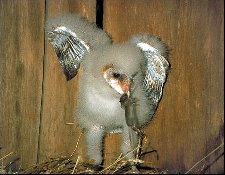 Пуховой птенец сипухи?, Фото фотография птицы картинка