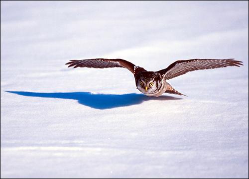 Летящая хищная птица, Фото фотография картинка птицы