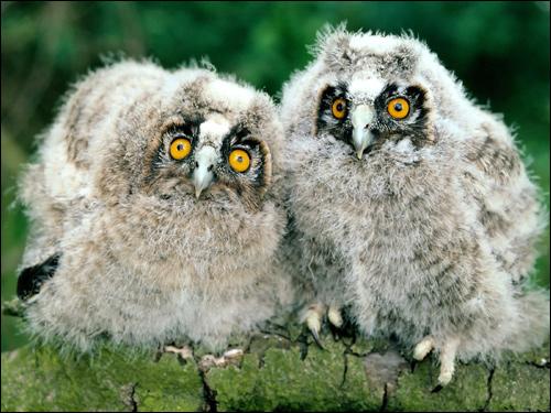 Птенцы ушастой совы ?, Фото фотография картинка птицы