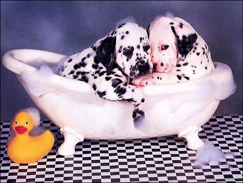 Щенки далматина далматинца в ванне, Фото фотография собаки картинка
