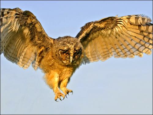 Летящая сова?, Фото фотография картинка птицы
