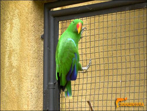 Благородный попугай (Lorius roratus), Фото фотография картинка птицы