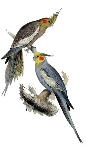 Карелла-нимфа (Nymphicus hollandicus), Рисунок картинка птицы